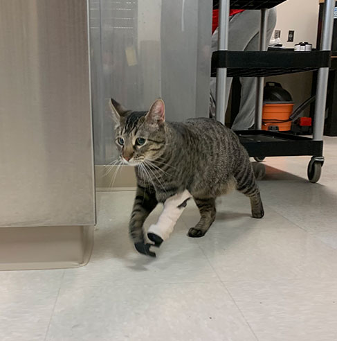 Cat walking around with the Feline Front Limb Prosthetic on its front left paw.