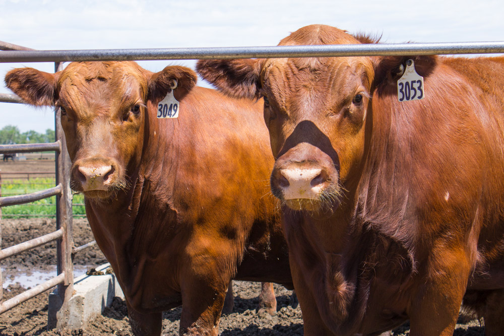 Cattle at the ARDC feedlot