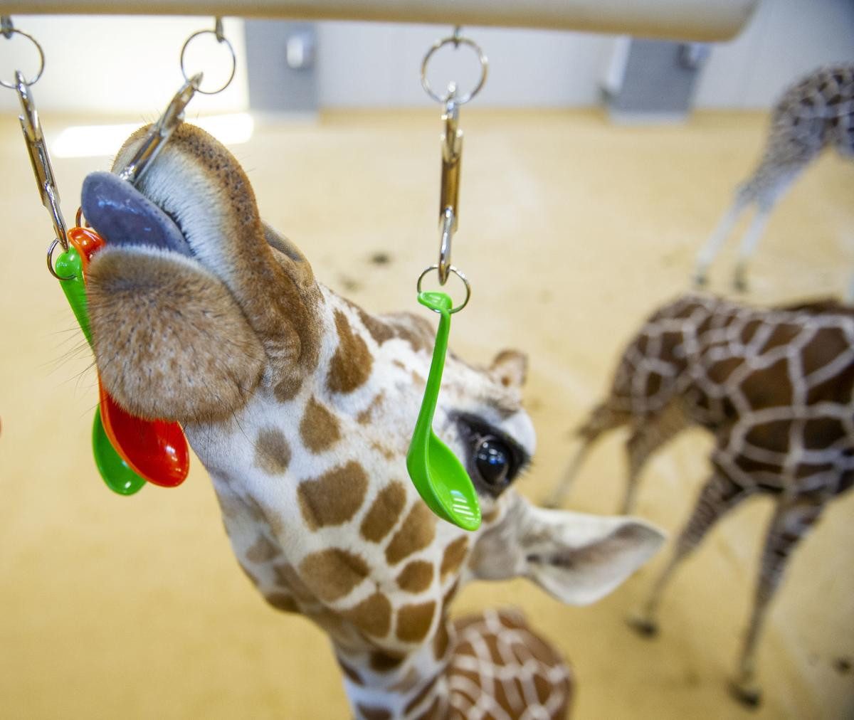 Phoebe, one of the new giraffes at the Lincoln Children's Zoo, plays with the hanging spoons on an enrichment item created by Nebraska Engineering students in the Theme Park Design Group. (Lincoln Journal Star photo)