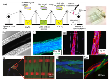 Diagram - Fiber based tissue engineering. (a) Coating of a cell-laden gel on a mechanically strong polymeric core thread to make composite living fibers; (b-d) fabrication of cell-laden myoblast-laden fibers; (e-f) Assembly of fibers into constructs using textile processes. Cellualr organization and alignment could be controlled in 3D (f).