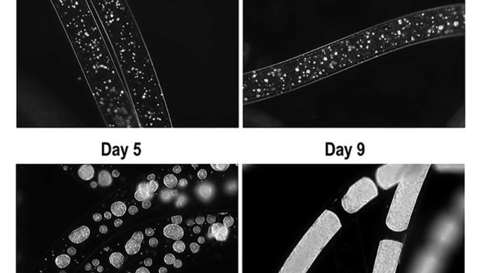 Growing human embryonic stem cells in hydrogel tubes protects them from moving media and promotes health and higher yields.